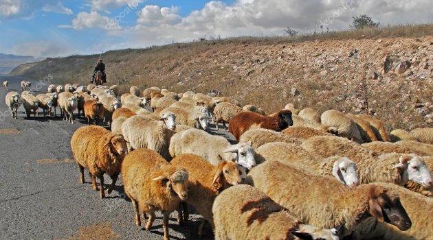 AK Parti'den Seçim Öncesi Koyunlara Büyük İlgi..
