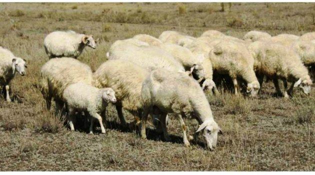 Ardahan'a Özgü TUJ Koyunu İçin Eylem Planı Hazırlandı!
