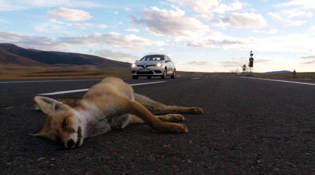 Tilkilerde Trafik Canavarının Kurbanı!